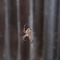 orb-spider-with-helix-design-2009-09-04-IMG 3353