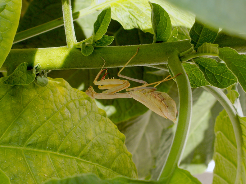 preying-mantis-on-Brugmansia-angels-trumpet-2016-09-16-IMG_7273.jpg