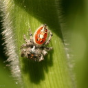 red-hunting-spider-on-corn