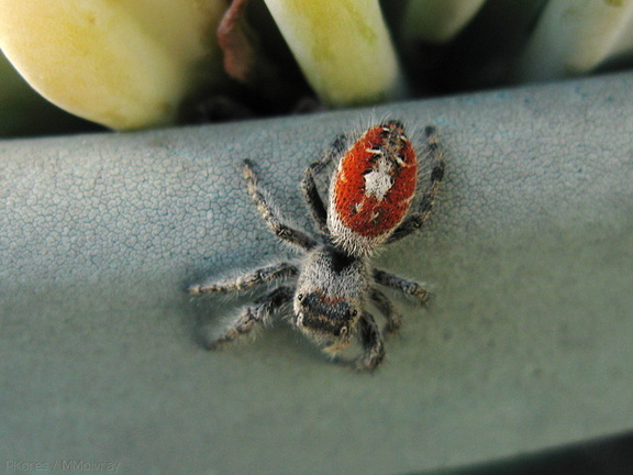 spider-red-backed-fuzzy-2008-09-05-IMG 1294