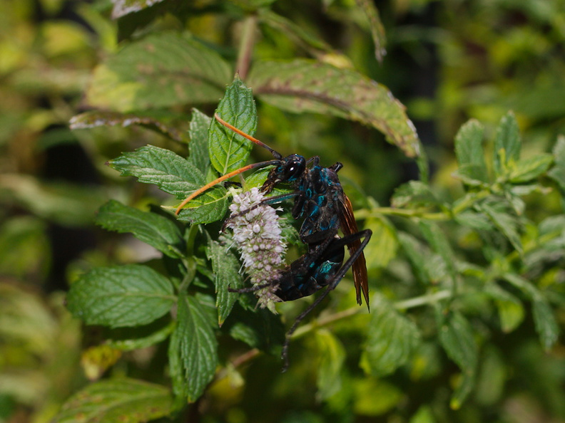 tarantula-wasp-on-mint-Moorpark-2016-08-17-IMG_3475.jpg