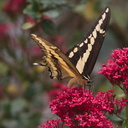 tiger-swallowtail-butterfly-Papilio-glaucus-in-garden-on-Centaurea-Jupiters-beard-2013-08-08-IMG 9829