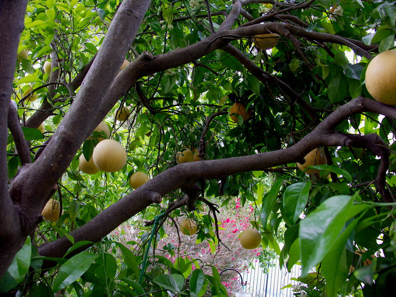 our-grapefruit-tree-Moorpark-2017-03-22-IMG_7686.jpg