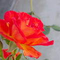 peace-type-rose-garden-2015-04-08-IMG 4847