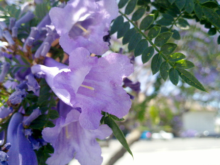 purple-flowered-Pawlonia-Bignoniaceae-Ventura-2013-05-27 1