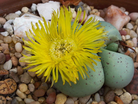 Lithops-jade-yellow-flowered-2009-12-15-IMG 3576