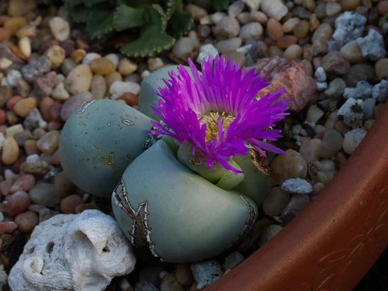 Pleiospilos-sp-purple-and-yellow-flowers-2014-12-04-IMG_4303..jpg