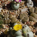 Pleispilos-jade-stone-plants-purple-and-yellow-flowers-2013-11-15-IMG 3061