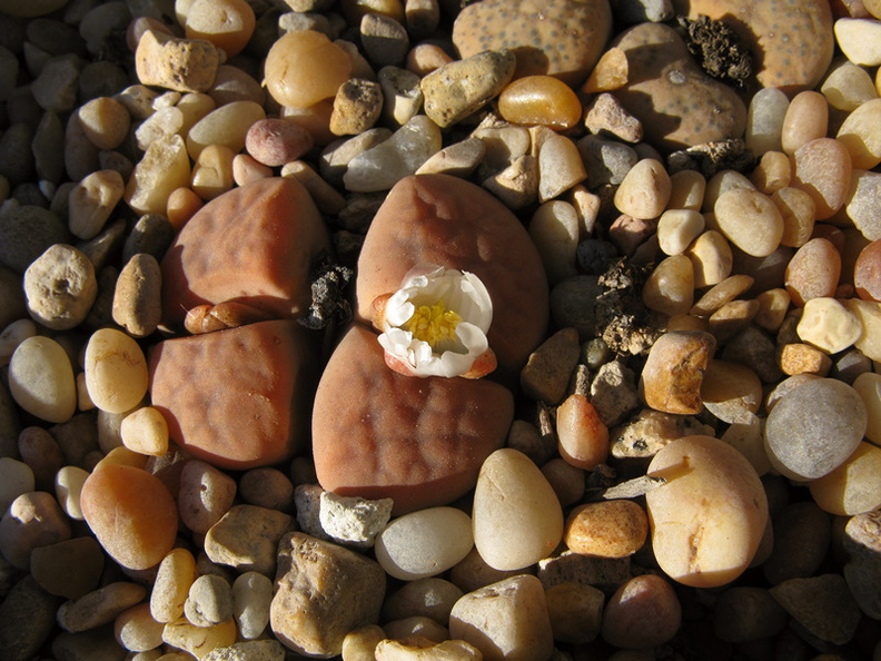 lithops-flowering-white-2008-10-11-IMG_1434.jpg
