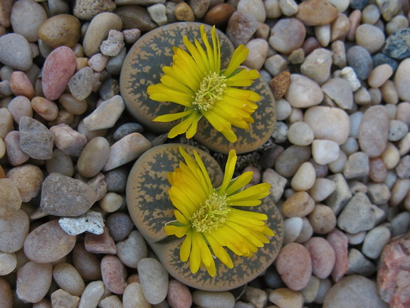 lithops-yellow-flowering-2008-10-07-IMG 1420