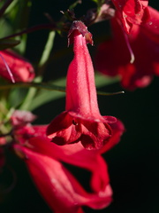 very-red-penstemon-2012-06-22-IMG 5420