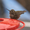 Annas-hummingbird-male-juv-bathing