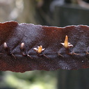 Megaclinium-platyrachis-Africa-knifeblade-orchid-SBShow-2009-07-11-IMG 3213