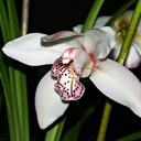 cymbidium beauty pink blush red spots