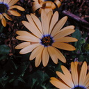 osteospermum orange1