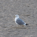 California-gull-Hueneme-Beach-2012-03-23-IMG 1490