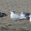 royal-tern-among-gulls-Ormond-Beach-2012-09-18-IMG 2776