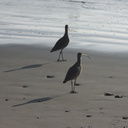 whimbrels-Port-Hueneme-beach-2012-12-08-IMG 2914