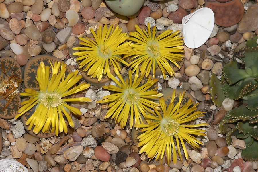 Lithops-sp-stone-plants-yellow-flowered-2012-10-27-IMG 6758