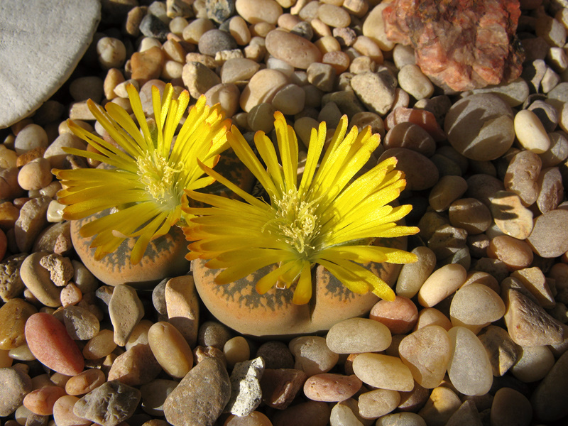 lithops-flowering-yellow-2008-10-11-IMG 1430
