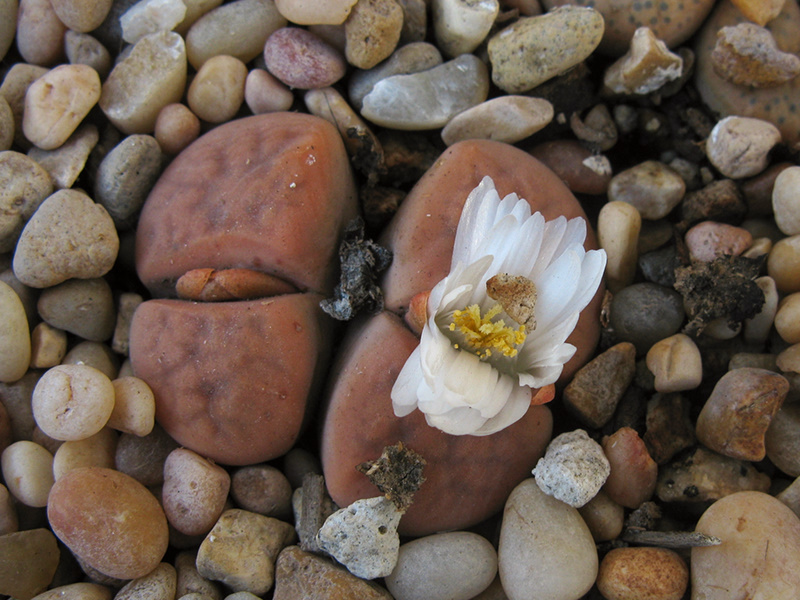 lithops-red-white-flowered-2008-10-17-IMG 1449