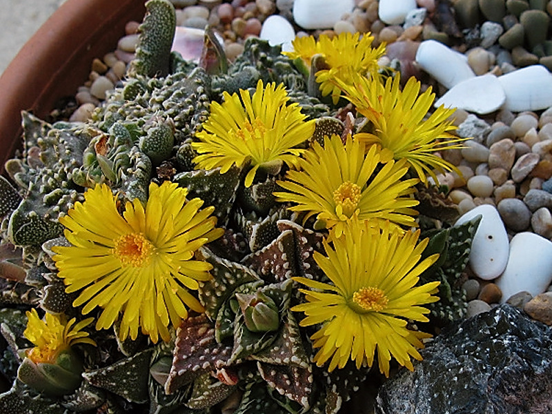 succulent-toothed-covered-in-yellow-fls-2008-10-17-IMG 1447
